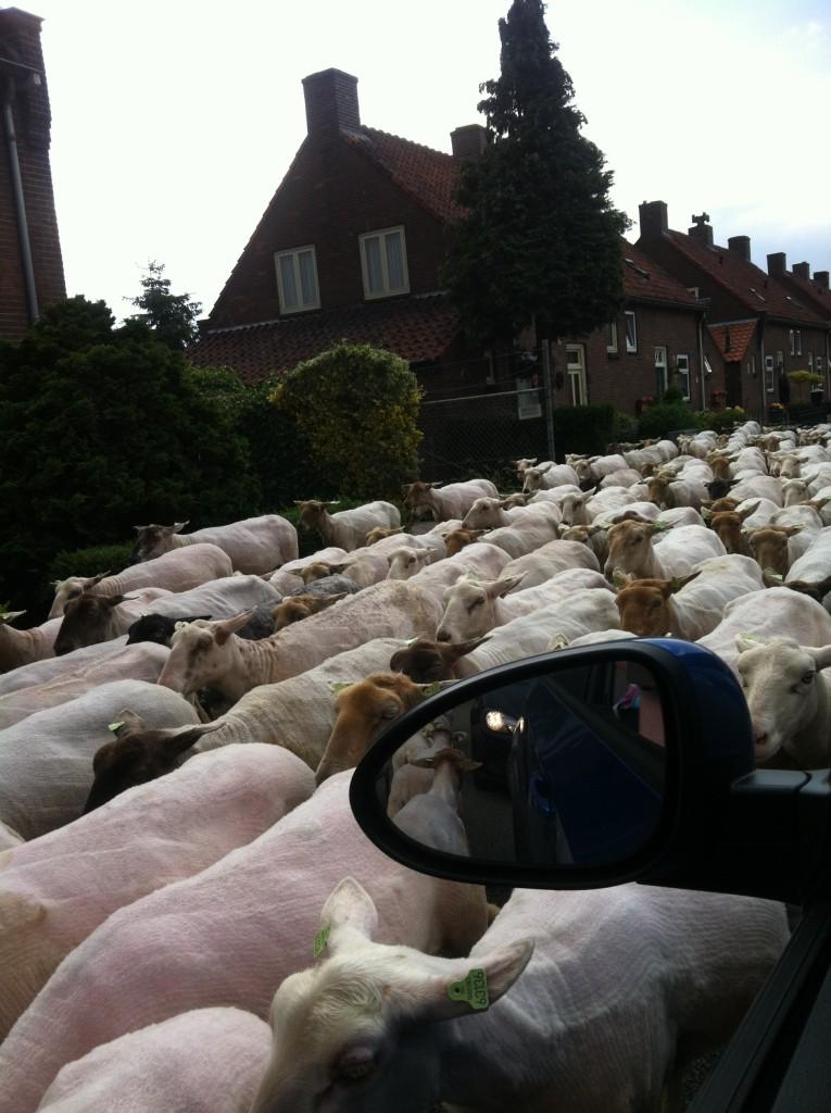 Nuray Karaduman photo of sheep in the road