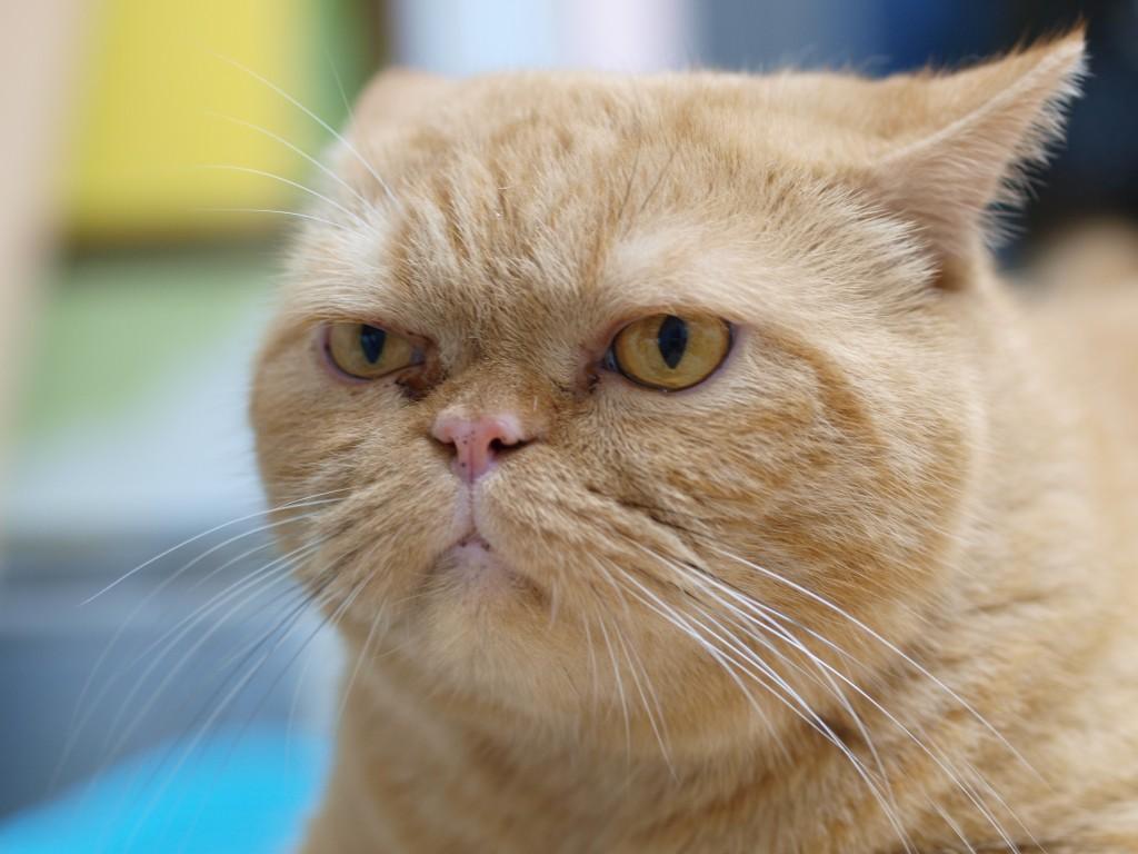 Grumpy ginger cat - scoopshot